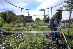 Dorothea Lovat Dickson works her plot at the Leslie Street Community Garden, an enormous allotment garden.