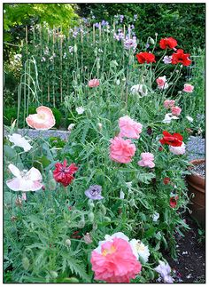Growing with plants gardening blog: HOW TO SOW AND GROW BEAUTIFUL ANNUAL POPPIES Plant early spring in dedicated area