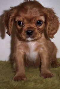 A ruby King Charles Cavalier spaniel puppy...look at that face!