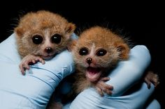 Lorises have the tendency to get a bit riled up when they're surprised by something. Here we see a couple of baby lorises after they just found out Bruce Willis's character was dead the whole time.