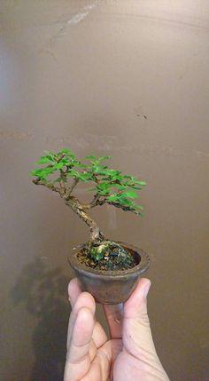 Bonsai Mame, Tiny World, Miniature Gardens, Nice, Plants, Shrubs, Miniatures, Flowers, Plant