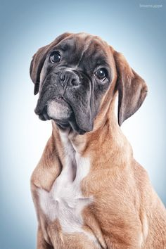 cute boxer puppy ares - A portrait of a male boxer puppy called ares. he is very adorable, isn´t he? :)