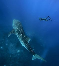 Diving with Adam Stern, PADI AmbassaDiver and a whale shark! Whale Shark Diving, Reef Shark, Whales, Scuba Diving Quotes, Best Scuba Diving, Shark Pictures, Ocean Pictures, Deep Diving, Underwater World