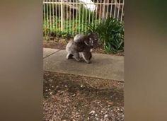 Koala izvodi mladunca u jutarnju šetnju ulicama Južne Australije Dogs, Animals, Animales, Animaux, Pet Dogs, Doggies, Animal, Animais