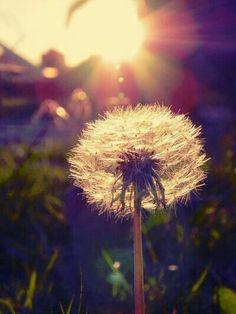 FLOWERS ~ DANDELIONS