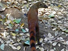 Ring Tailed Vontsira-Mongoose [OC] [4000x3000] - http://ift.tt/2heS5zs