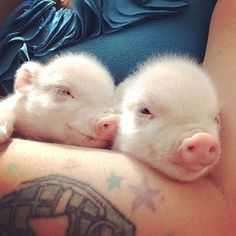 When they& babies, they are literal angels. Teacup Piglets, Baby Piglets, Tiny Pigs, Pet Pigs, Baby Animals, Cute Animals, Pink Animals, Unique Animals, Cute Piggies