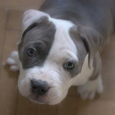 So Cute... Pit bull puppy