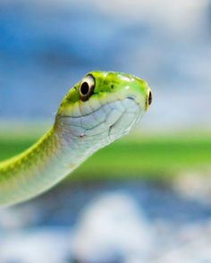 """Rough Green Snake saying """"whatta up stroh"""""""