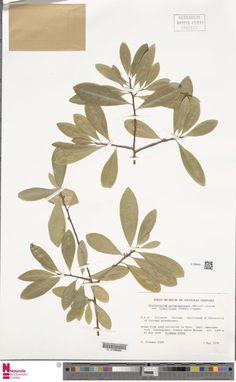 U.1284634 | Erythroxylum novogranatense (Morris) Hieron. var. truxillense (Rusby) Plowman