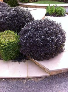 Pittosporum tenuifolium 'Tom Thumb' which make an interesting alternative to the usual box balls. The young leaves are green but they quickly turn aubergine - blackish purple. Garden Trees, Plants, Front Yard Landscaping, Bushes And Shrubs, Small Shrubs, Back Gardens, Shrubs, Garden Borders, Landscaping Plants