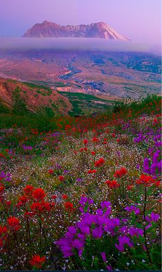 Mount St. Helens wildflowers in southern Washington • photo: Kevin McNeal on Flickr