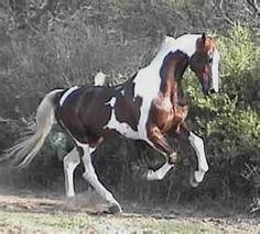 Saddlebred Stallion