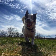 WHOOP WHOOP! It's Friday motherpuppers   #TGIF #whoop #friday #weekend #kelso #kelsothecorgidor #ohmycorgis #corgimix #corgilab #corgidor #corgicommunity #sunny #bluesky #spring #corgination #mutt #dog #dogsofinstagram #igdog #igcorgi #muttsofinstagram #lfl by kelsothecorgidor