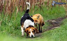 Beagle, Fuchs