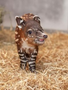 A Baby Baird's Tapir Is Born at Nashville Zoo Baby Exotic Animals, Exotic Pets, Cute Baby Animals, Animals And Pets, Funny Animals, Wild Animals, Beautiful Creatures, Animals Beautiful, Especie Animal