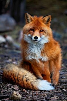Bushy tailed red fox