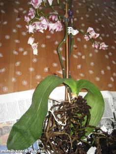Záchrana orchideje svraštělé listy usychání květů opadávání poupat