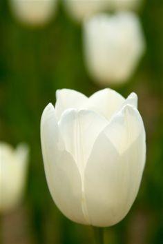 White-Tulip