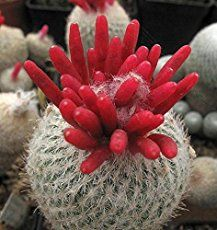 Epithelantha micromeris - Button Cactus is a cactus characterized by its white-grey spines growing on a globular shaped stem. The density...