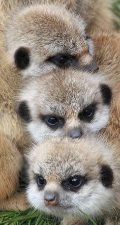 "Meerkat babies.  ❁❁❁Thanks, Pinterest Pinners, for stopping by, viewing, re-pinning, & following my boards.  Have a beautiful day! ❁❁❁ **<>**✮✮""Feel free to share on Pinterest""✮✮"" #animals #gifts www.catsandme.com"