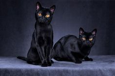 Photo of Two Black Cats - photo © Getty / Alexandra Draghici-Vetta