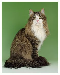I had to have this picture of the norwegian forest cat, even though I already have one. But these colours are very traditional for the norwegian forest cat, and I wanted to show those too