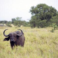 Buffalo roam African grasslands.