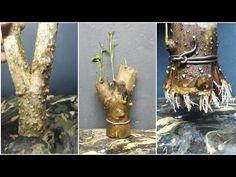 Make small bonsai from branch cutting (anting putri / wrightia religiosa ) Bonsai Ficus, Bonsai Art, Bonsai Plants, Bonsai Garden, Bonsai Tree Care, Bonsai Tree Types, Indoor Bonsai Tree, Grafting Fruit Trees, Air Layering