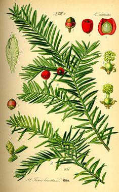 Jugapuu. Taxus baccata / Otto Wilhelm Thomé, Flora von Deutschland Österreich und der Schweiz (1885)