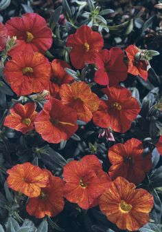 Proven Winners - Million Bells® Crackling Fire - Calibrachoa hybrid red plant details, information and resources. Container Plants, Container Gardening, Flower Gardening, Million Bells, Outside Plants, Red Plants, Begonia, Hanging Baskets, Dream Garden
