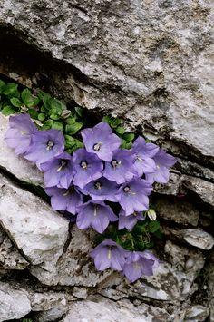 CAMPANULA RAINERI (Campanula di Rainer. Rainers Glockenblume. Campanule de Rainer. Rainerjeva zvončnica). Campanulaceae. Campanulaceae
