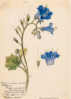 Stella Sherwood Vosburg, (1869–1943) Phacelia campanularia ssp.vasiformis, Desert Bells, Mojave Desert. 1929. Watercolor on paper.