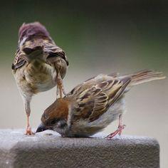 Boys will be boys. Cute Baby Animals, Funny Animals, Animal Photography, Nature Photography, Photo Animaliere, Sparrow Bird, Bird Quotes, World Birds, Bird Wings