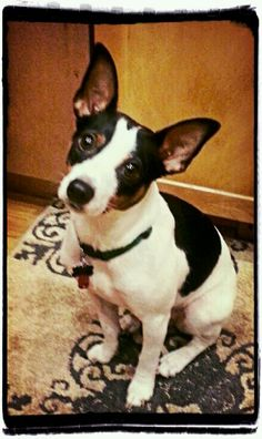 My Decker Rat Terrier Collins says PP. What a sweetie! Toy Fox Terriers, Save A Dog, Yorkshire Terrier Puppies, Family Dogs, Training Your Dog, Pet Birds, Dog Love, Fur Babies, Cute Dogs