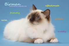 The Funniest Cat Moment - What's a Birman Cat? Imagine a long-haired Siamese with white paws- Awesome! Siamese Cats, Cats And Kittens, Pet Cats, Crazy Cat Lady, Crazy Cats, Birman Cats For Sale, Dogs And Kids, Cat Colors, Cat Facts