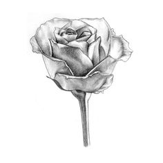 Rose drawing | CoolFlowers Pictures ❤ liked on Polyvore