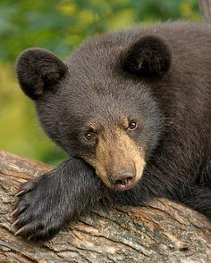 Black Bear Cub ~ Innocence: photo by Eric Bowles on Bear Cubs, Panda Bear, Polar Bear, The Bear Family, Baby Animals, Cute Animals, American Black Bear, Black Bear Cub, Bear Paintings