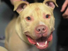 TO BE DESTROYED - 03/27/15 Brooklyn Center My name is TIGER. My Animal ID # is A1025245. I am a neutered male tan and white american staff mix. The shelter thinks I am about 3 YEARS old. For more information on adopting from the NYC AC&C, or to find a rescue to assist, please read the following: http://urgentpetsondeathrow.org/must-read/