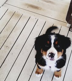 This is Belen, my good friends Bernese Mountain Dog. She is a tomboy who loves to wrestle, take naps, and lick your whole entire face. One of my favorite dogs, ever.