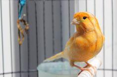 Canary Birds, Most Beautiful Birds, Parrot, Beautiful Birds, Animais, Sentences, Friends, Photos, Novelty Signs