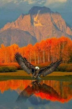 Eagle - Beautiful reflection on the water w/the scenery. Eagle - Beautiful reflection on the water w/the scenery. Wild Life, Beautiful Birds, Animals Beautiful, Beautiful Places, Beautiful Scenery, Cool Pictures, Beautiful Pictures, Nature Pictures, Birds Of Prey