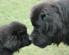 Can we just discuss how newfies are the best dogs in the world for a minute?