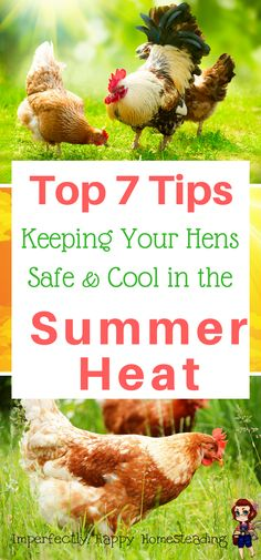 Beat the heat with these top 7 tips for keeping your hens safe and cool in the summer heat! Great for backyard chickens and large coops.