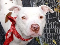 TO BE DESTROYED - 10/01/14 -  Manhattan Center -P  BENJI - A1014806  *** EXPERIENCED HOME, NO SMALL CHILDREN ***  NEUTERED MALE, WHITE / TAN, PIT BULL MIX, 1 yr STRAY - STRAY WAIT, NO HOLD Reason STRAY  Intake condition EXAM REQ Intake Date 09/21/2014, From NY 10469, DueOut Date 09/24/2014,