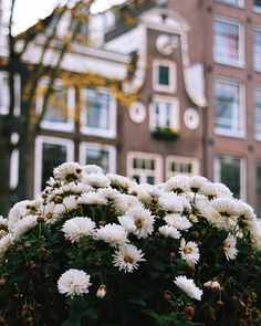 Amsterdam by ( White Chrysanthemum, Nikon Photography, Blossoms, Amsterdam, Photo And Video, Videos, Photos, Travel, Instagram