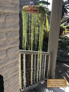 A Garden of Collectible Succulents in Corona Hanging Succulents, Cacti And Succulents, Agave Attenuata, Ice Plant, Garden Cafe, Agaves, Gypsophila, Pot Sets, Spring Day