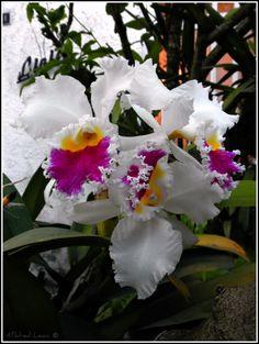 Venezuela, para disfrutar de las más bellas flores! Orchids - Caracas, Venezuela