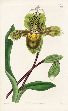 William Curtis Botanical Orchid Prints 1787-1826