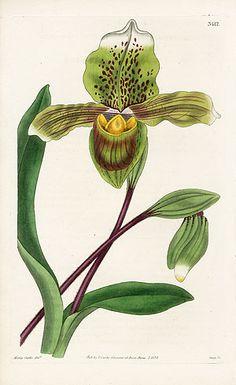 William Curtis Botanical Orchid 1787-1826